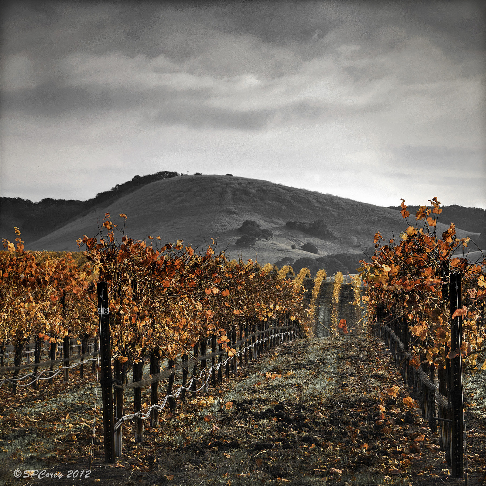 Fall in the Vineyard by Steve Corey