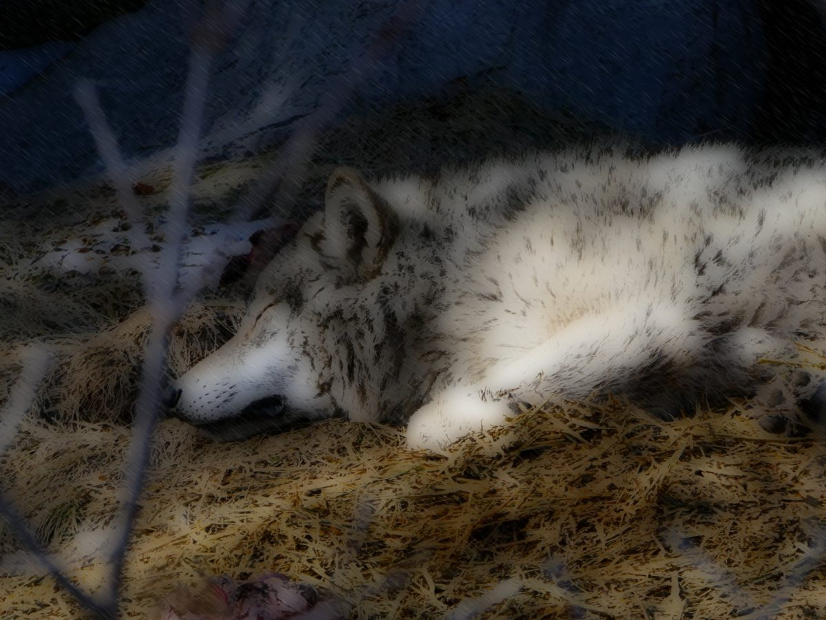 Let Sleeping Wolves Lie by eileenmak
