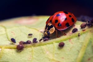 Harlequin ladybird eating aphids