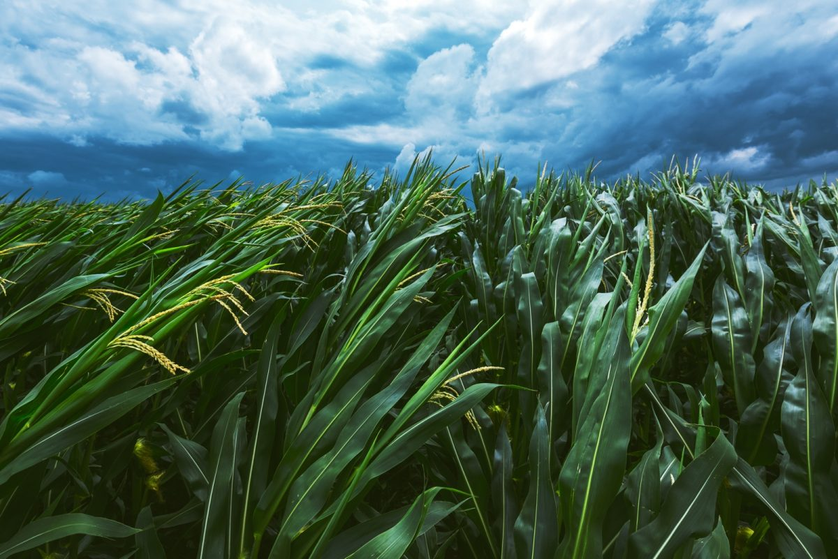 Corn in a storm