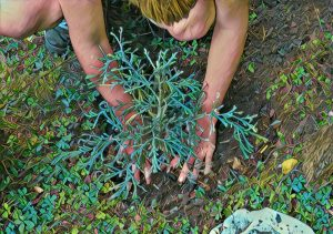 Planting a sequoia